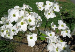 blooming dogwood